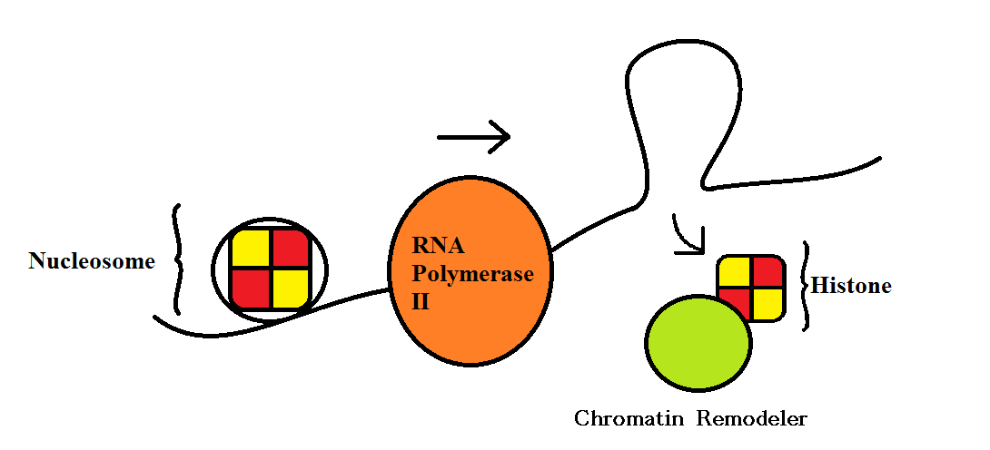 RNA Polymerase II Transcription