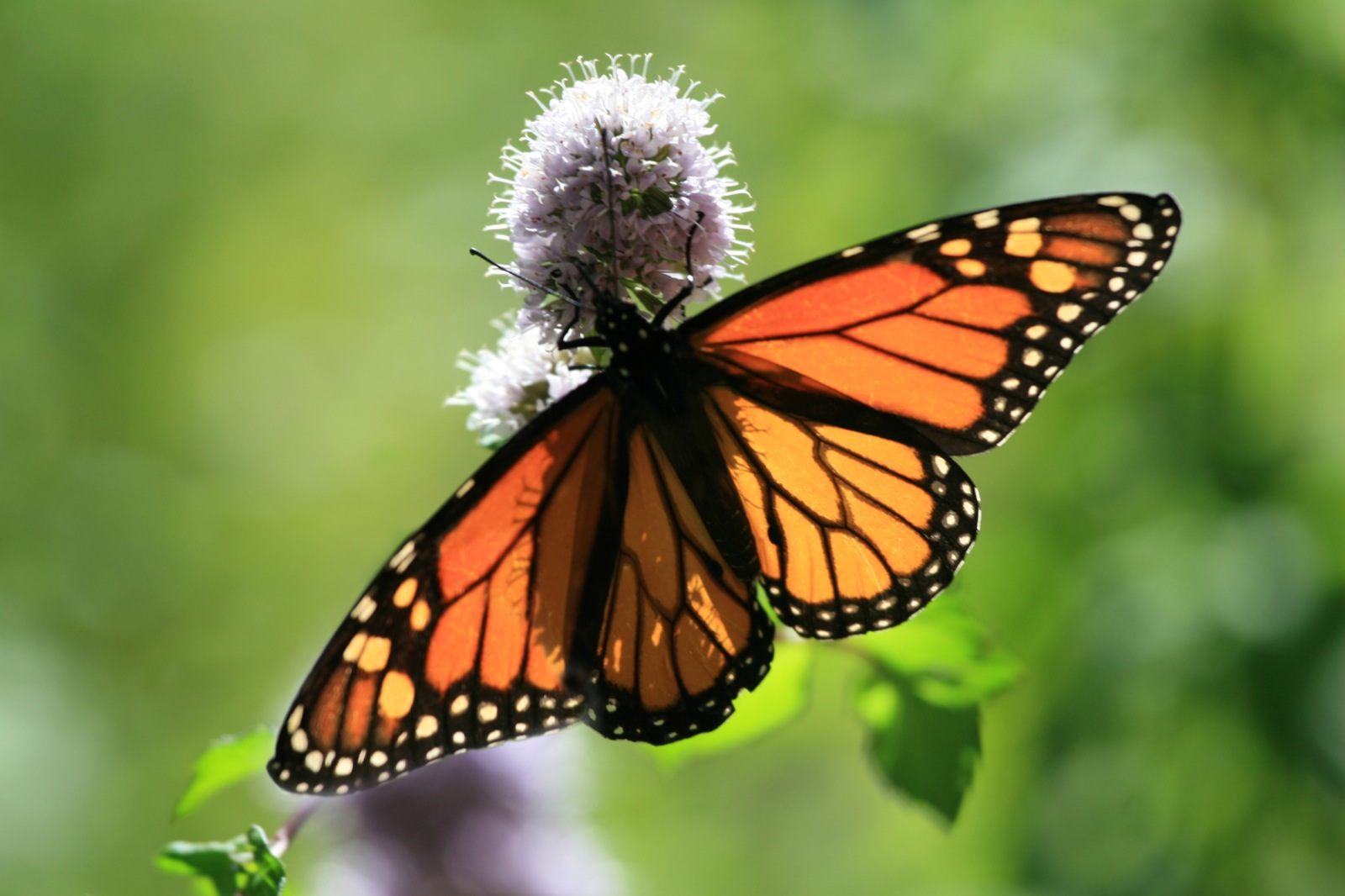 A beautiful monarch butterfly bears her transp...