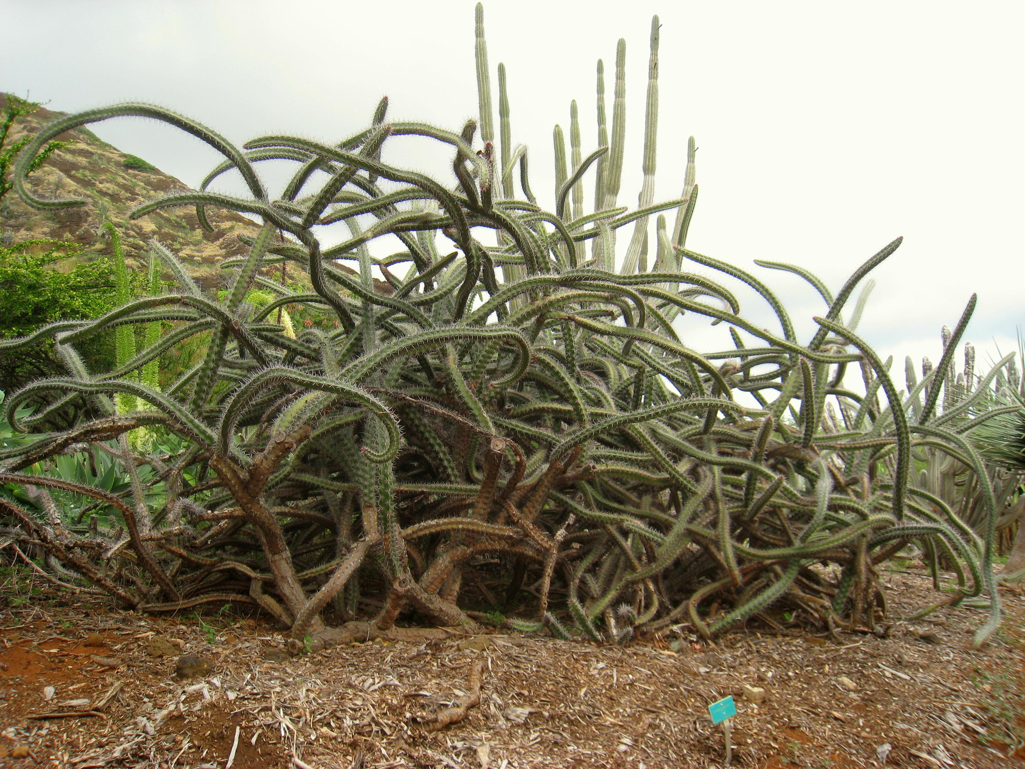 File Rathbunia Alamosensis Koko Crater Botanical Garden Img 2202 Jpg Wikimedia Commons