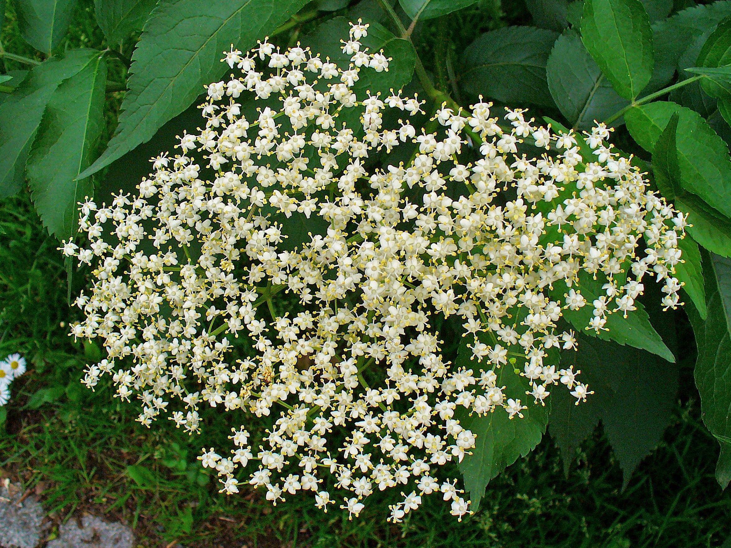 elderberry deutsch
