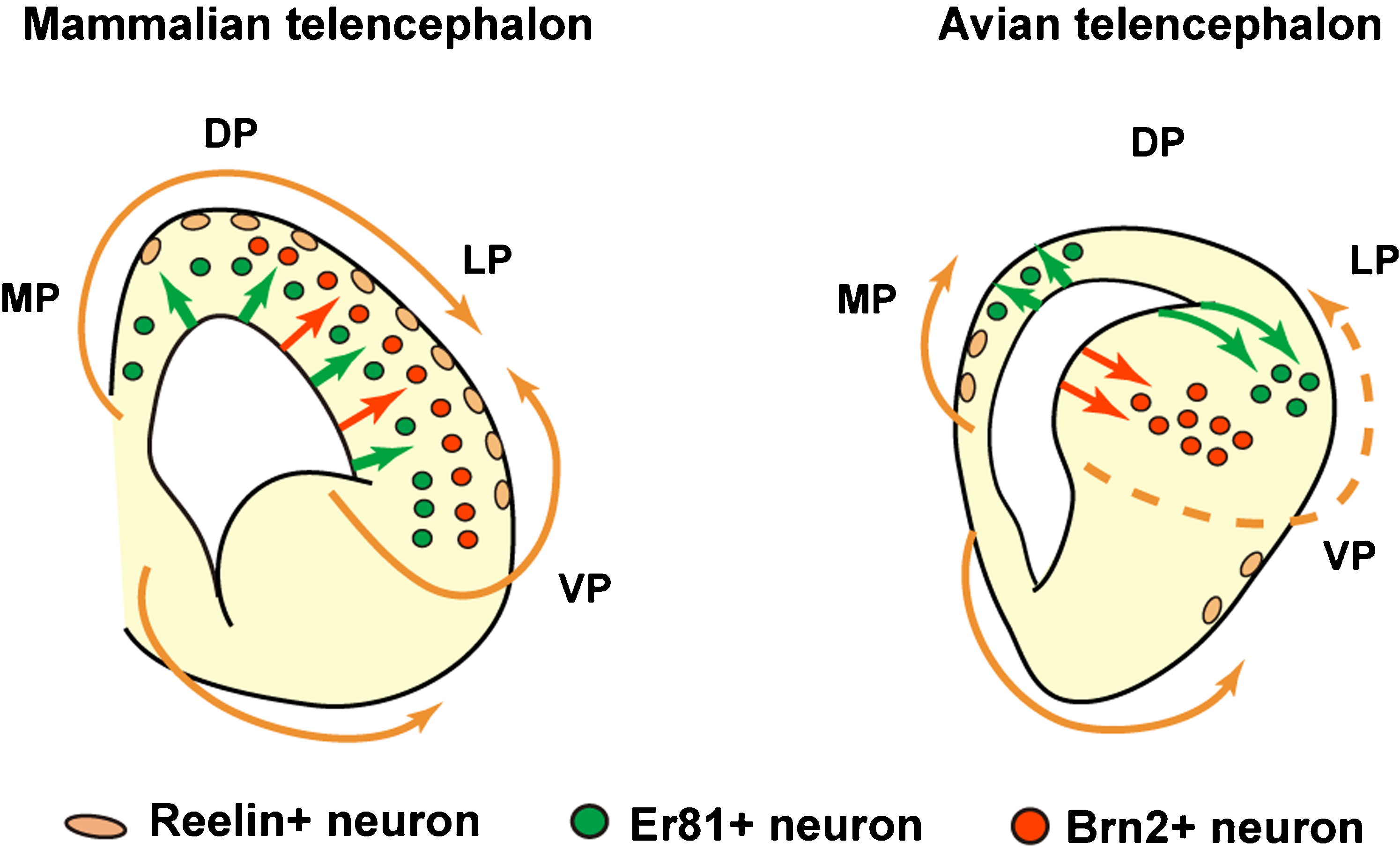 File:Schematic illustration of differences in neuronal specification ...