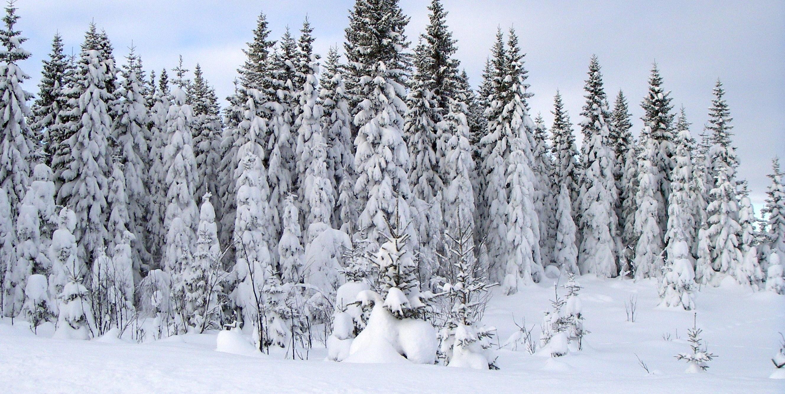 spruce tree snow - photo #1
