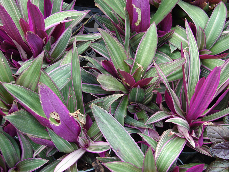 File starr 070906 8488 tradescantia for Plantas ornamentales de interior
