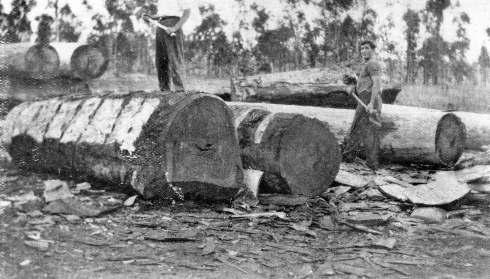 StateLibQld 2 72725 Axemen removing bark from felled walnut trees, Kaban, 1936