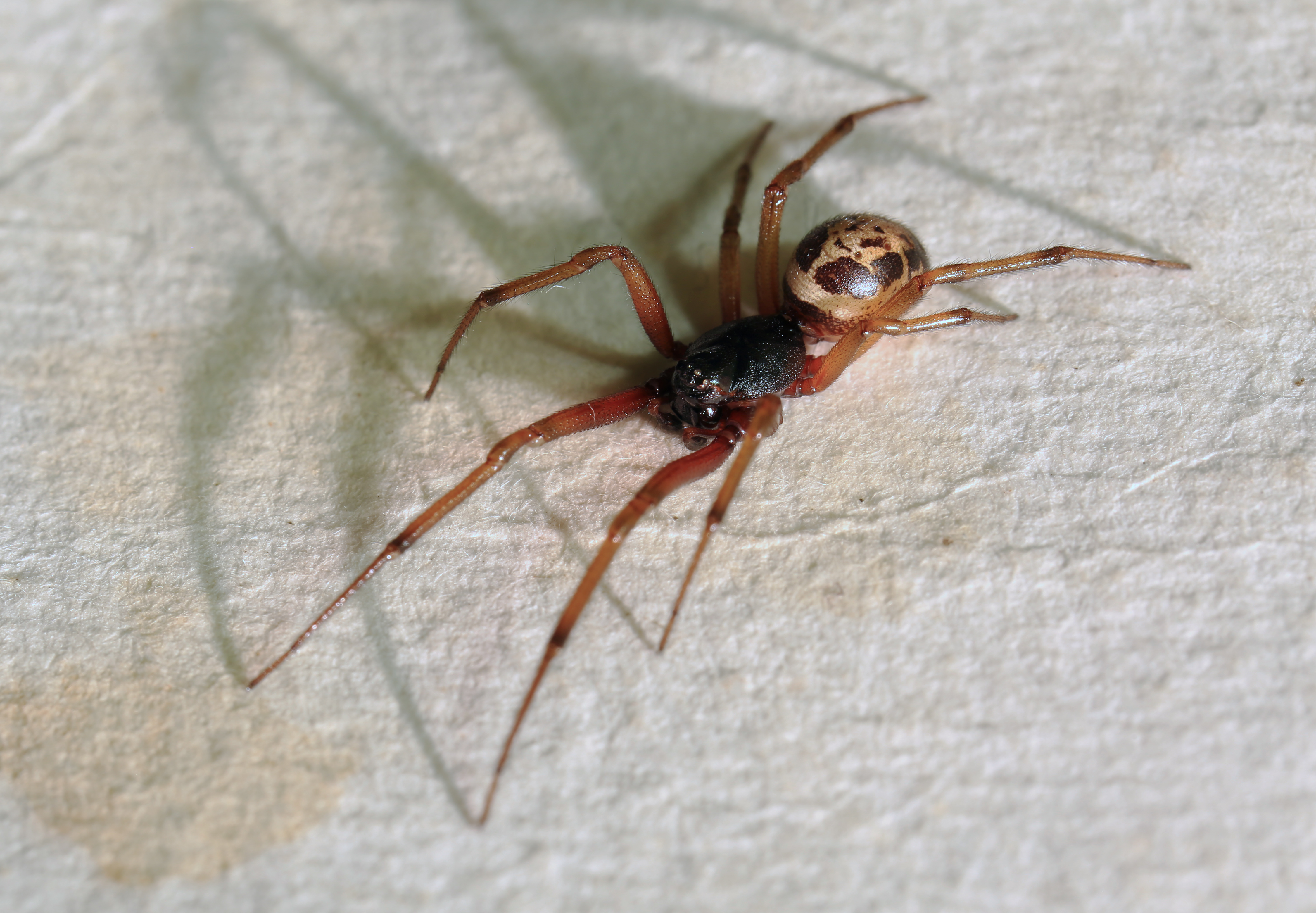 File steatoda nobilis noble false widow spider wikimedia commons for What does a garden spider look like