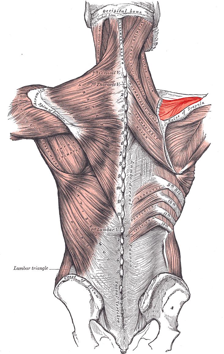 Músculo supraespinoso - Wikipedia, la enciclopedia libre