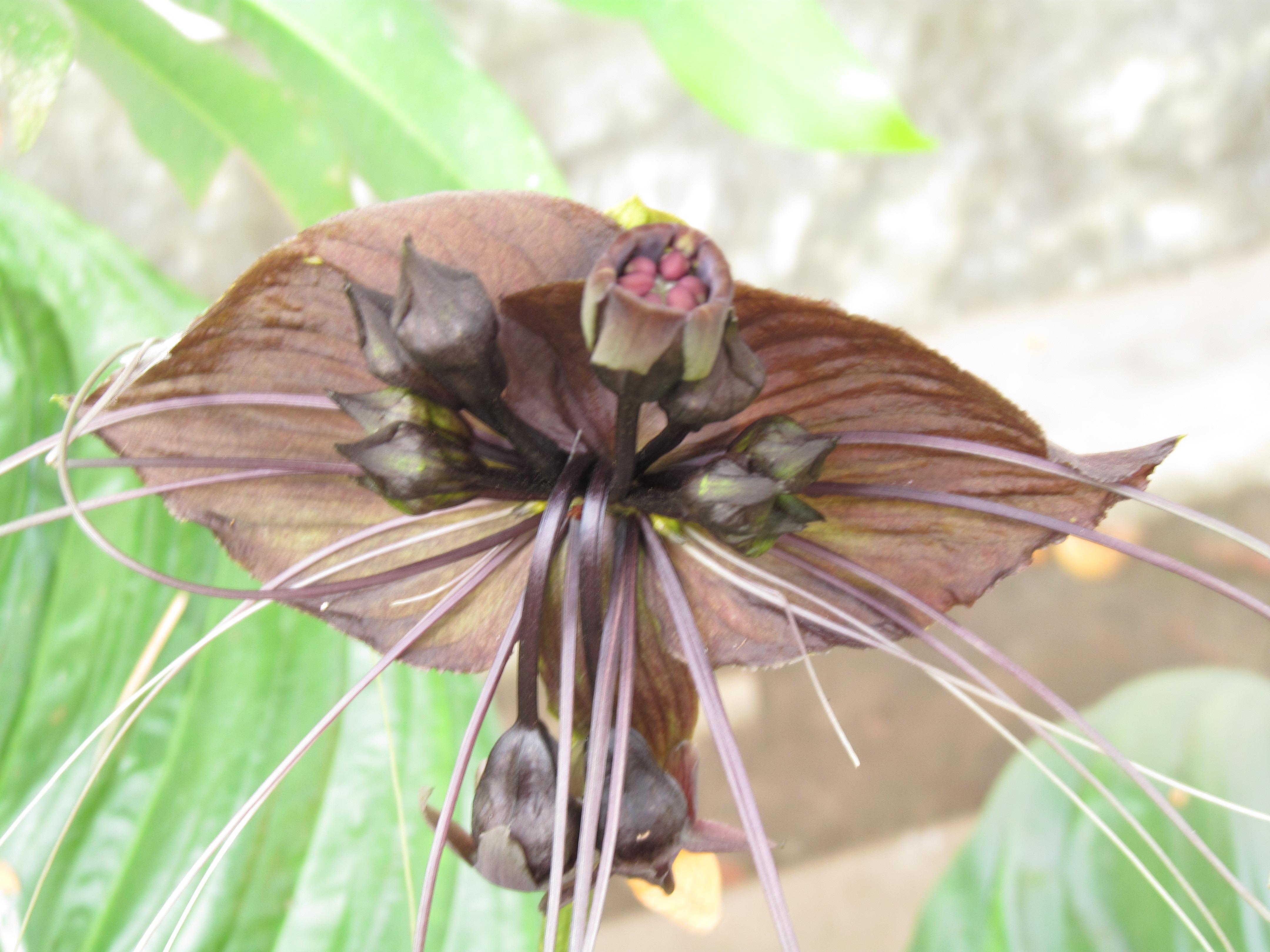 File Tacca chantrieri Kerala Vavvalpoovu black bat flower 02 JPG Wikime