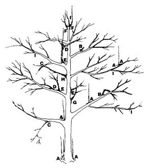taille des arbres fruitiers - wikiwand