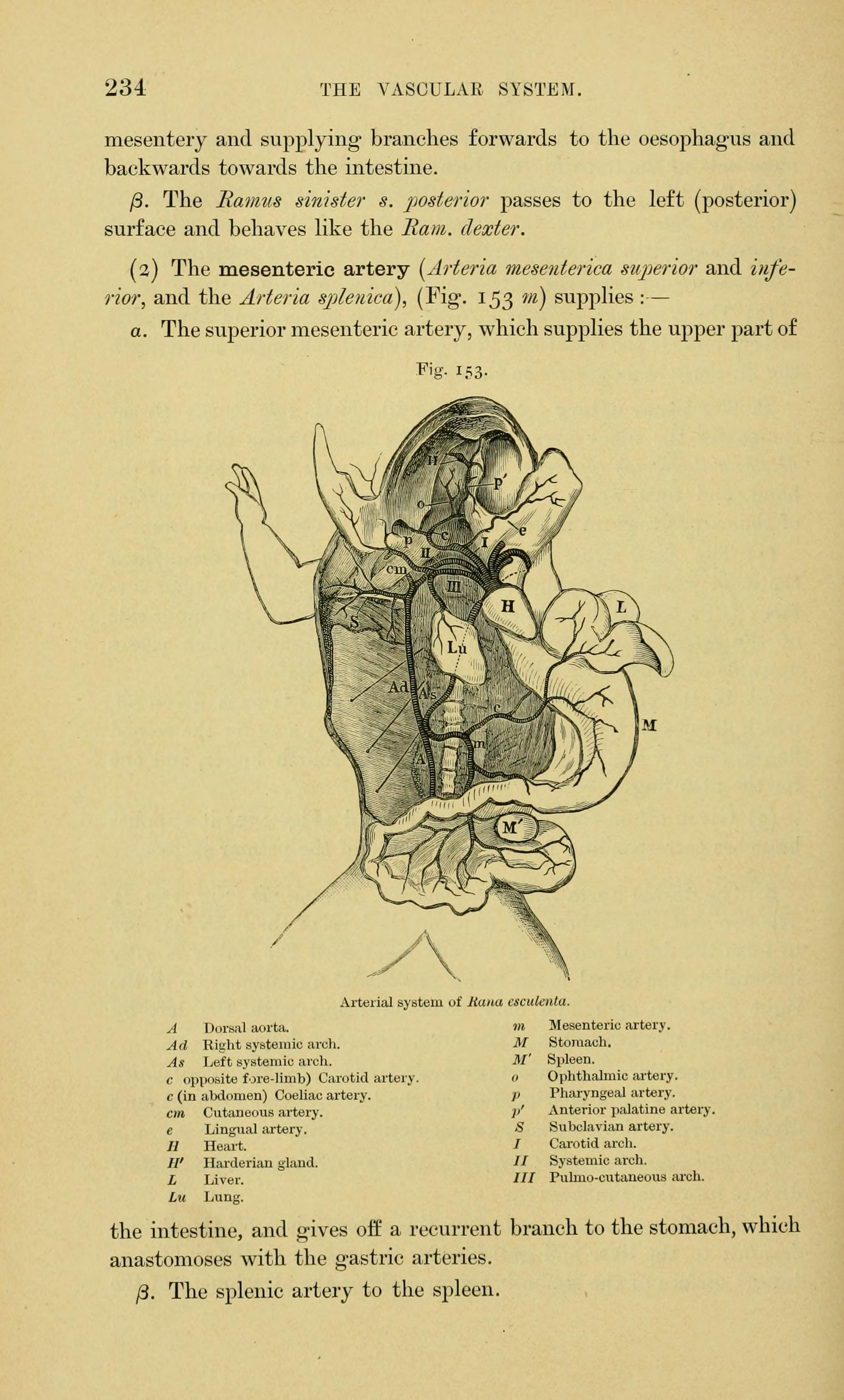 File:The anatomy of the frog (Page 234, Figs. 153) BHL7554901.jpg ...