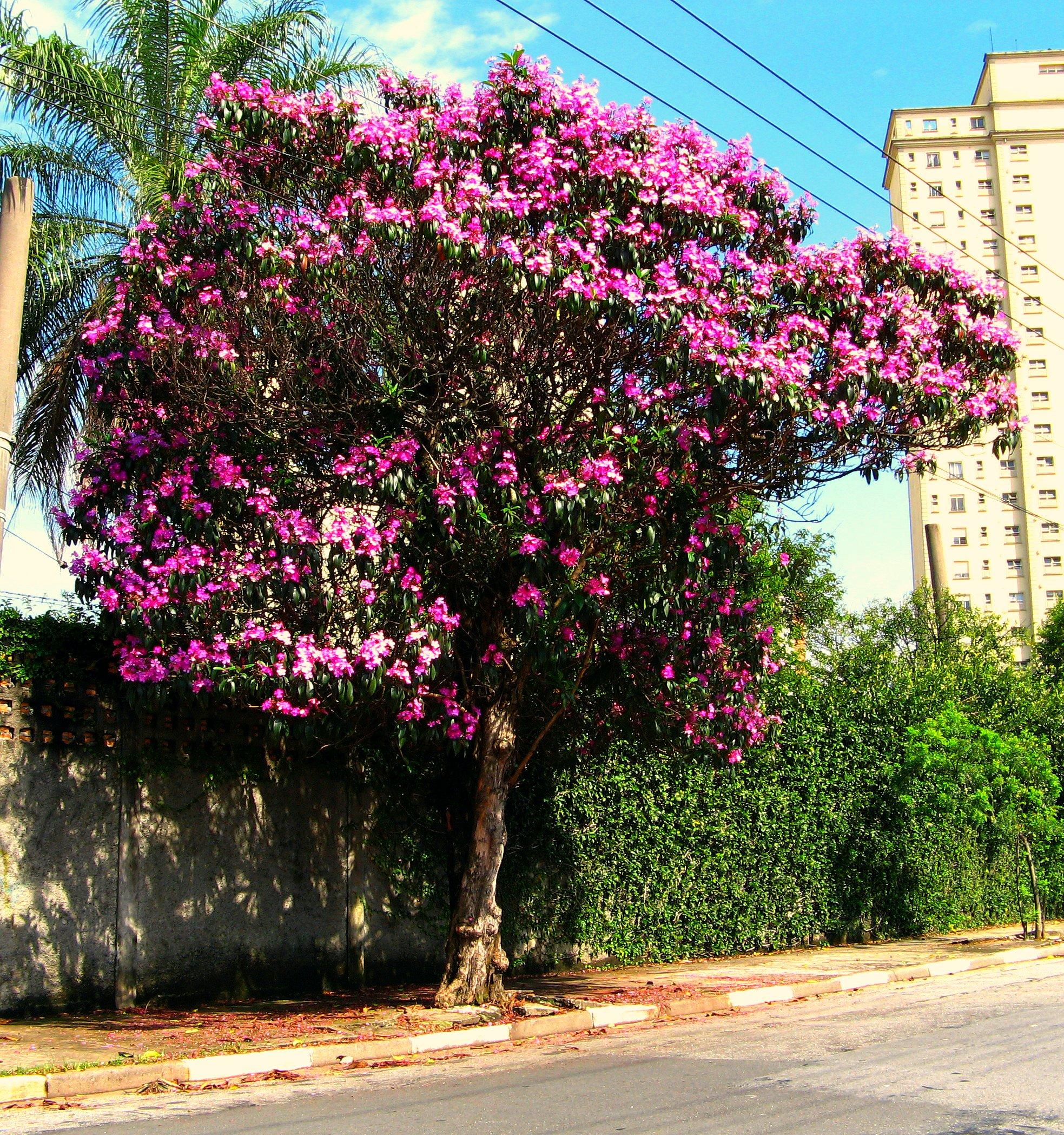 http://upload.wikimedia.org/wikipedia/commons/e/e9/Tibouchina_Granulosa_Kathleen.jpg