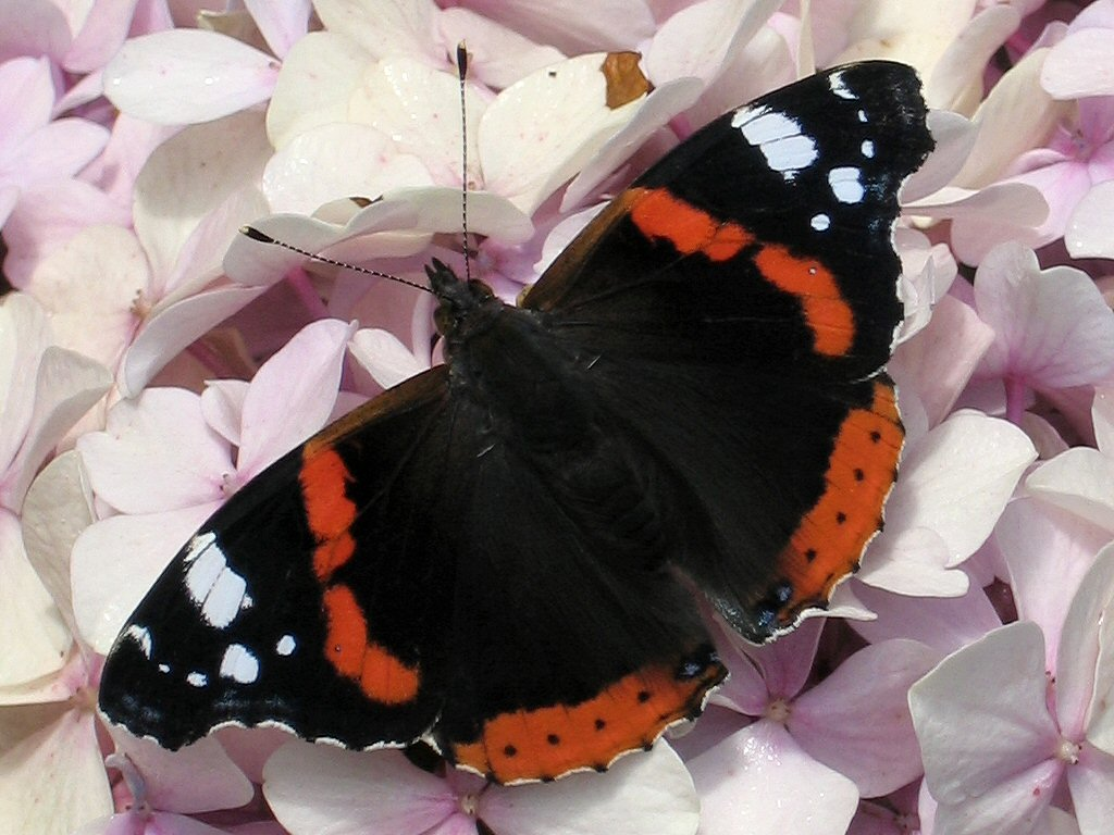 red admiral butterfly facts