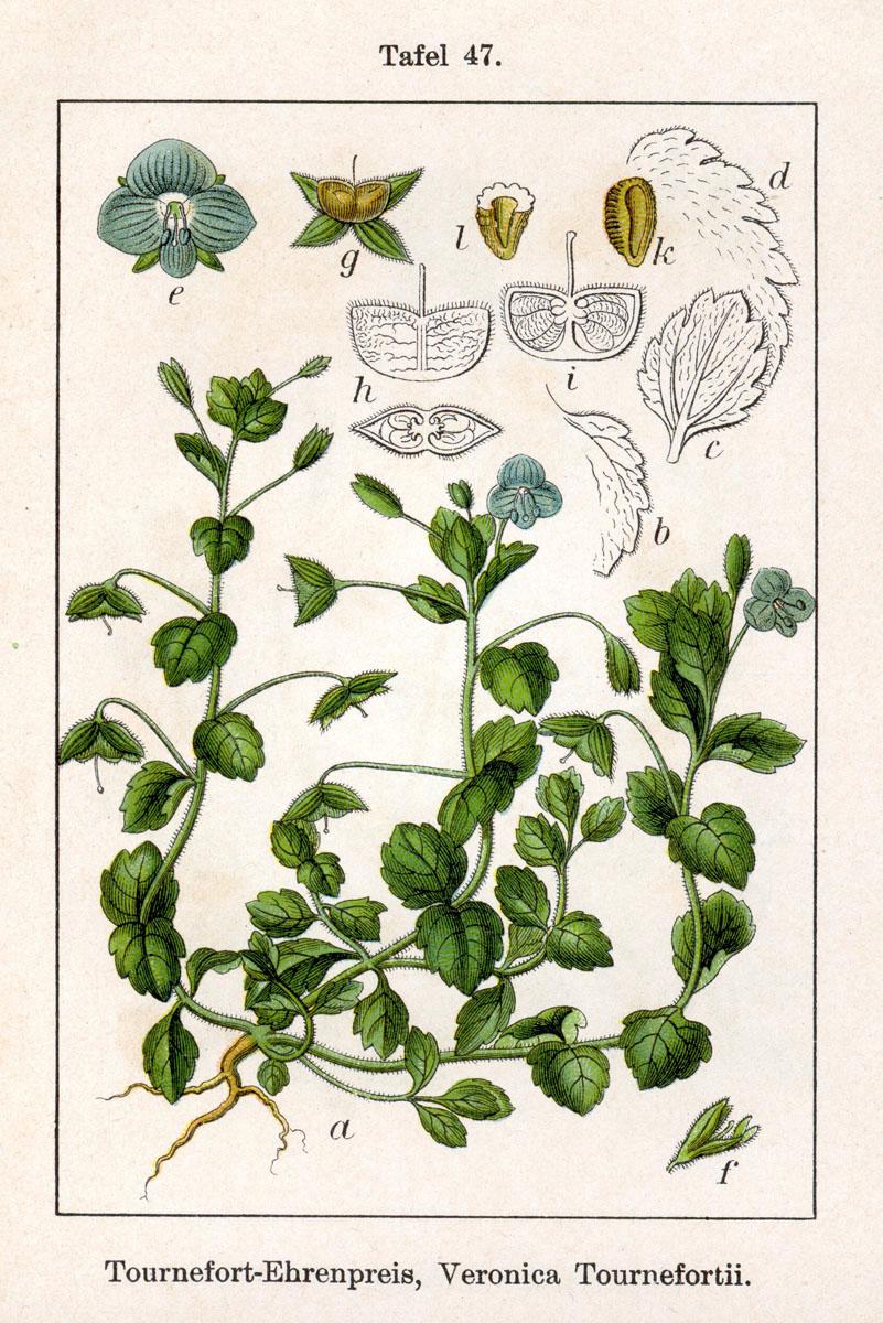 オオイヌノフグリ - Wikipedia