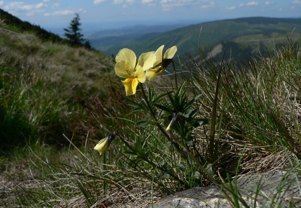 Fialka žltá (Viola lutea)