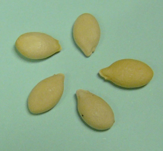 File:Winter melon seed.jpg