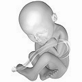 Artist's depiction of fetus at 40 weeks gestational age, about 51 cm (20 in) from head to toe. 40 weeks pregnant.png