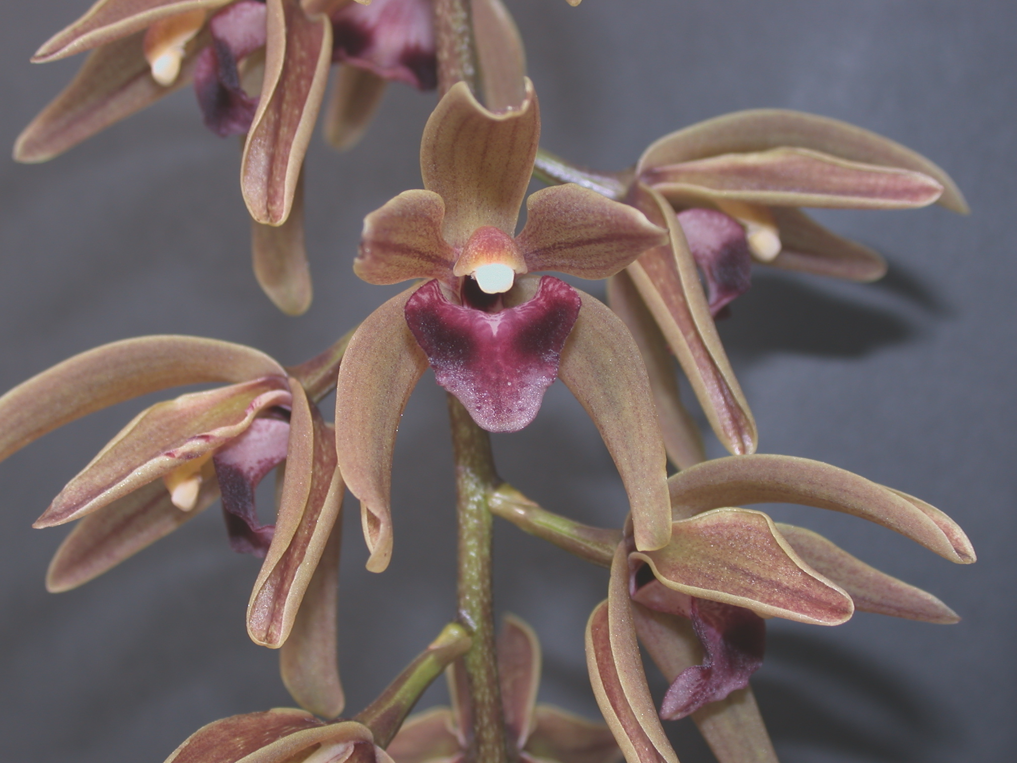 A and B Larsen orchids - Cymbidium devonianum DSCN8790.JPG