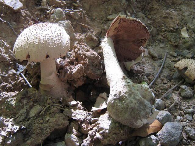 Amanita microlepis image