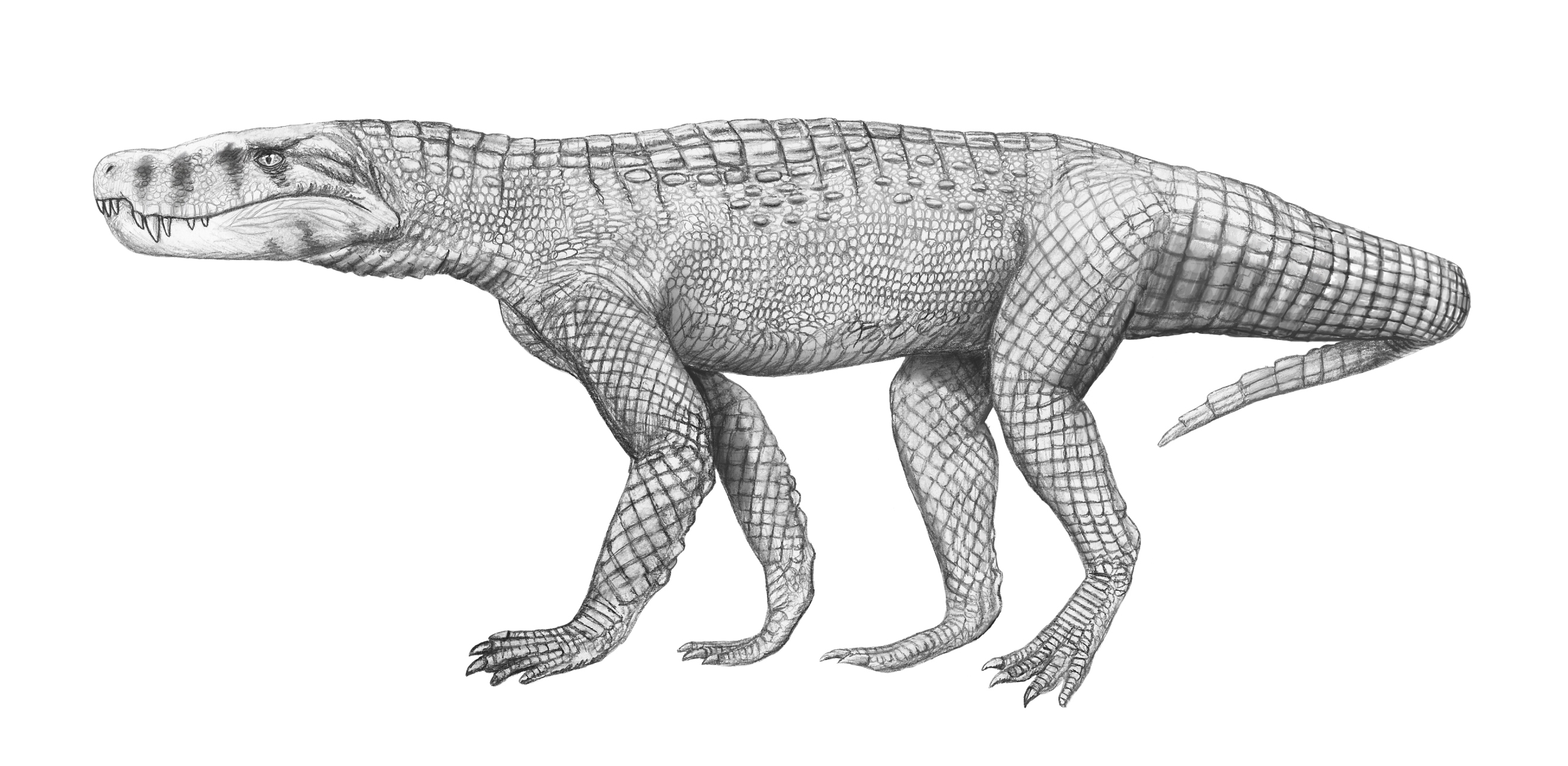 http://upload.wikimedia.org/wikipedia/commons/e/ea/Baurusuchus_albertoi.jpg