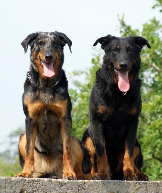 Beauceron - Dog Scanner
