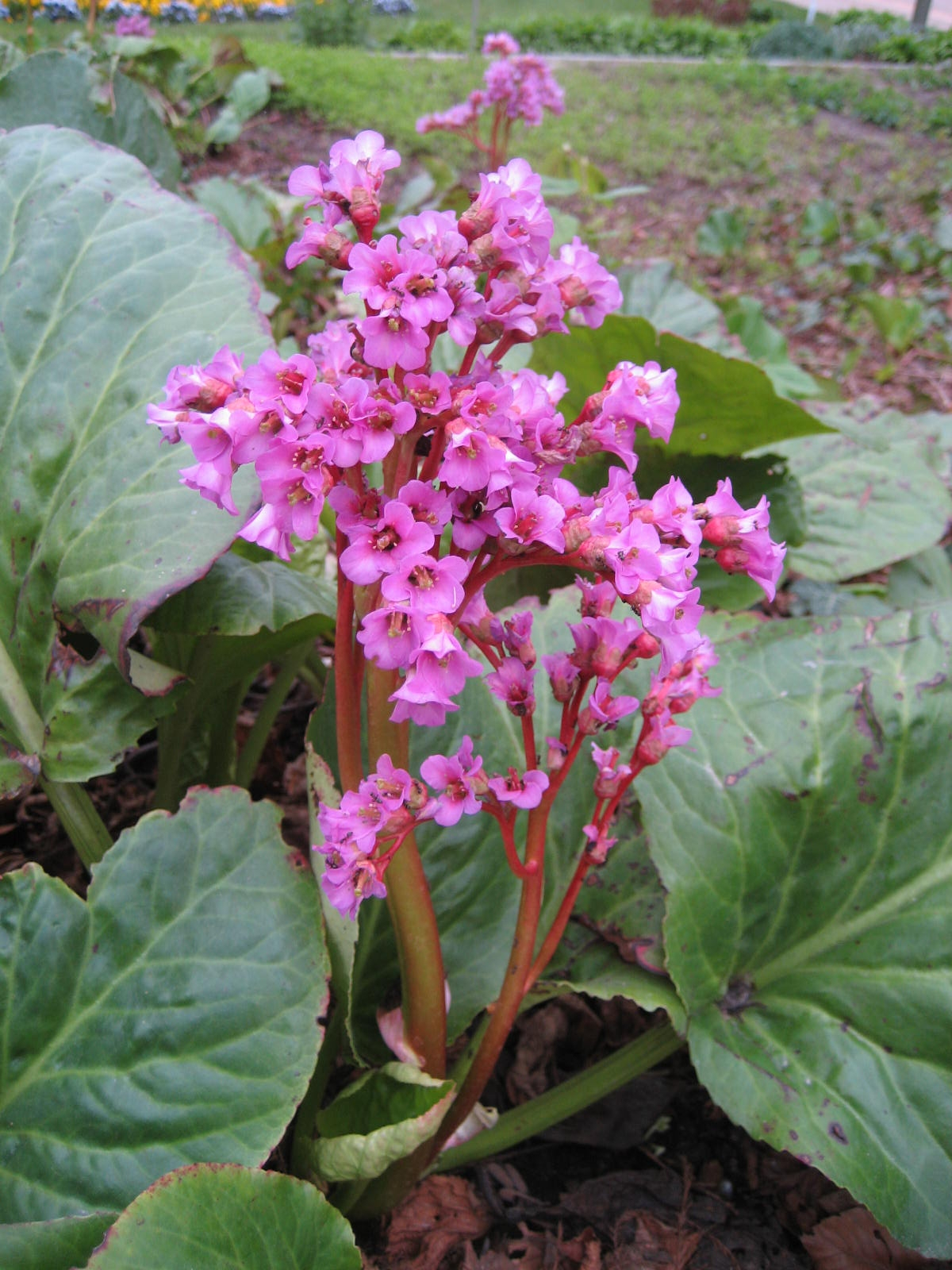 Bergenia wikipedia for Plante et fleur exterieur
