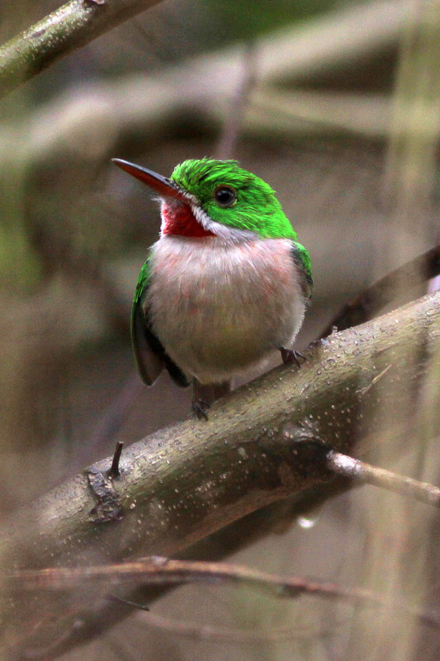 Broad Billed Tody File:broad Billed Tody 2 1