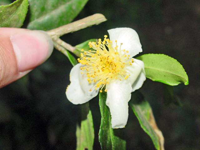 Ficheiro:Camellia sinensis-flor1.jpg
