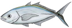 alt=Description de l'image Carangoides_ruber.jpg.