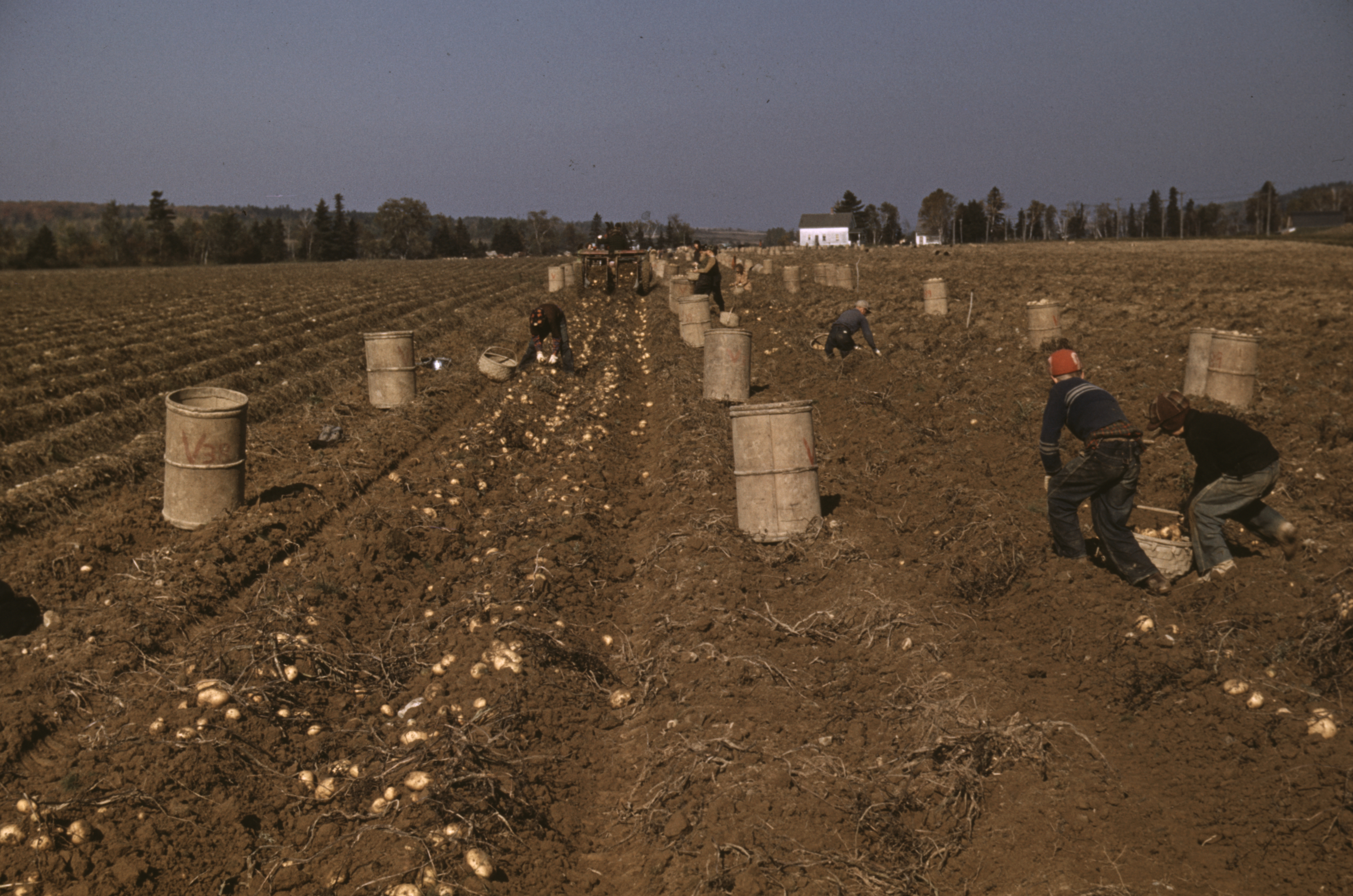 Child laborers in a potatoe field (Maine) 1940