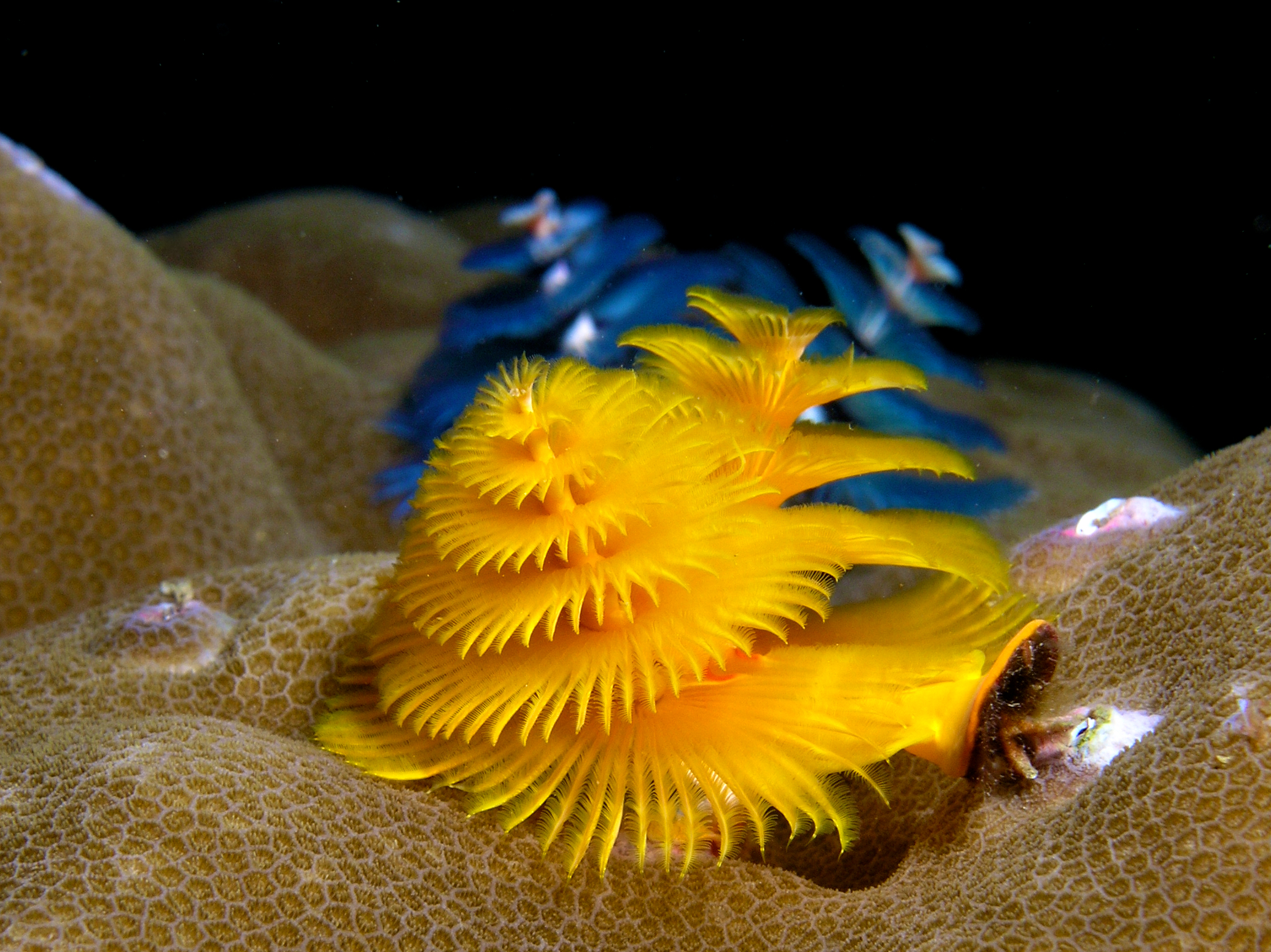 christmas tree worm | Tumblr