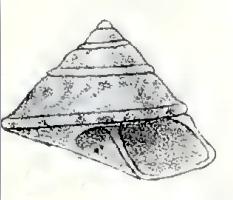 <i>Coelotrochus chathamensis</i> species of mollusc