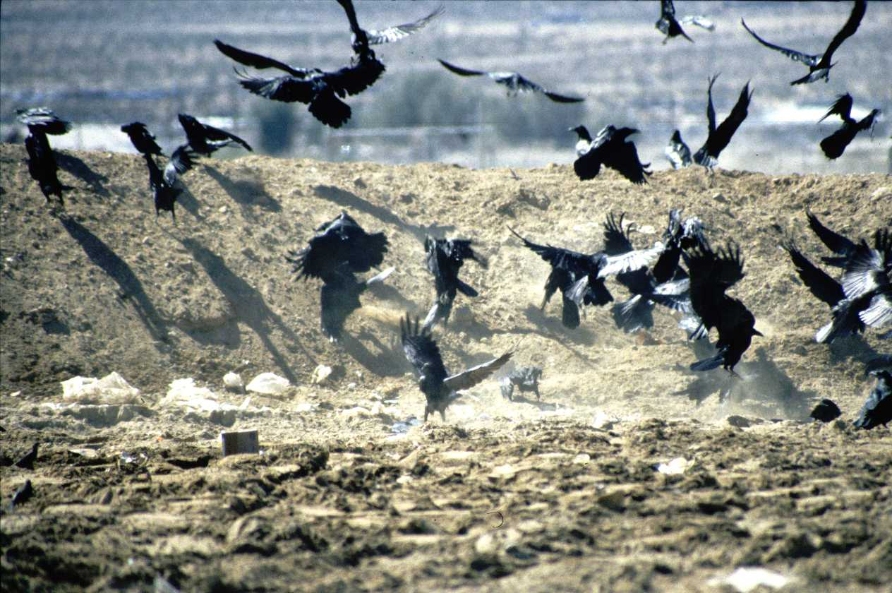 Ravens Flying In A Flock