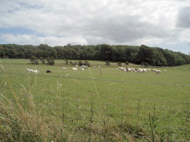 Cows north of Stanmer Park - geograph.org.uk - 1425016