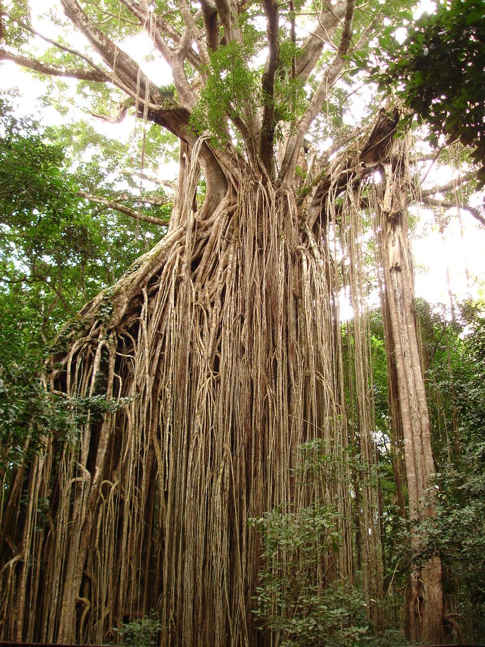 Figtree Australia  city pictures gallery : Fitxer:Curtain Fig Tree, Queensland, Australia Viquipèdia, l ...