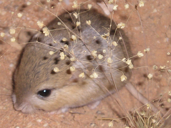 The average litter size of a Cape short-eared gerbil is 2