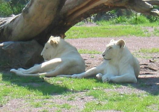 Animales en su hábitat. Deux_lions_blancs