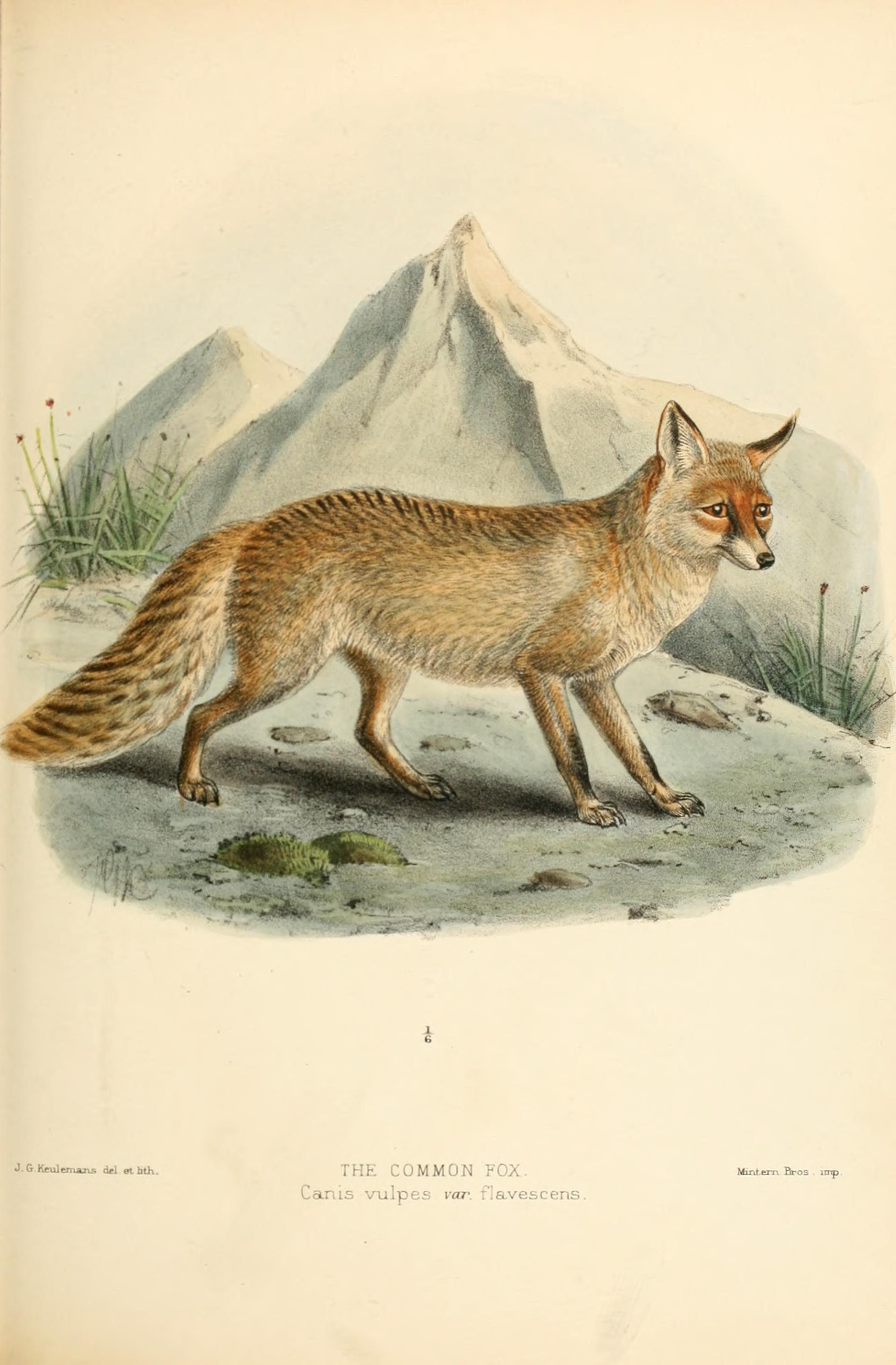 File Dogs Jackals Wolves And Foxes A Monograph Of The