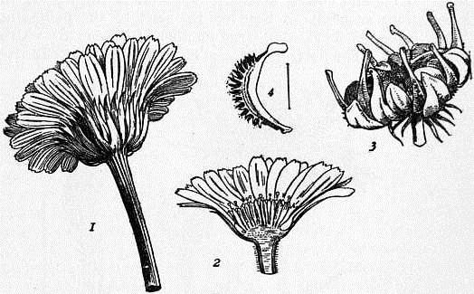 EB1911 Compositae - Fig. 1.—Marigold; fruits.jpg