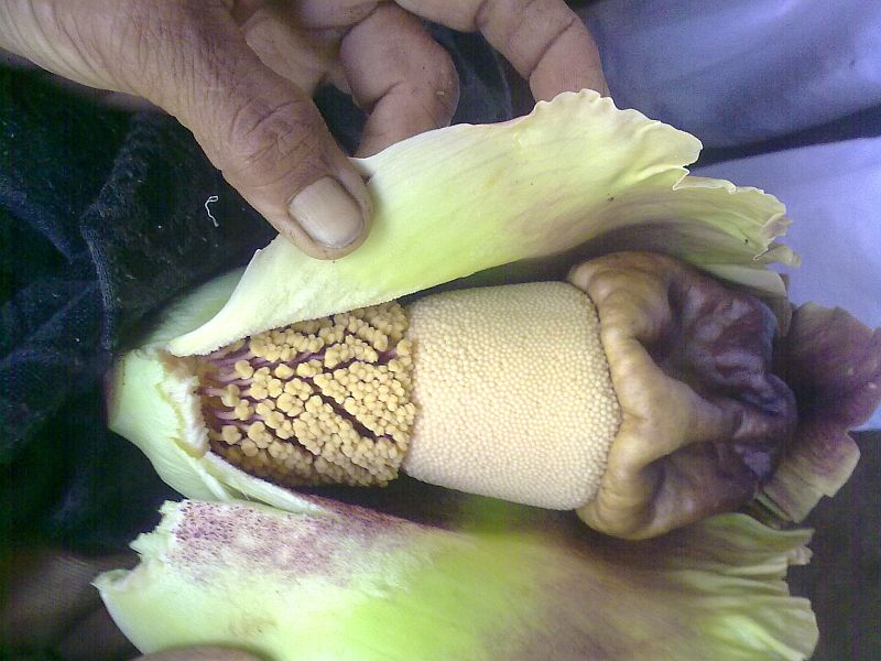 File:Elephant Foot Yam Flower.jpg - Wikimedia Commons