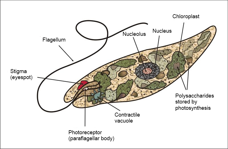 Image Index as well File euglena anatomy diagram in addition 48182 sycon sponge as well Royalty Free Stock Photography Euglena Sketch Image33356957 further File euglena diagram. on flagellate diagram and labeled