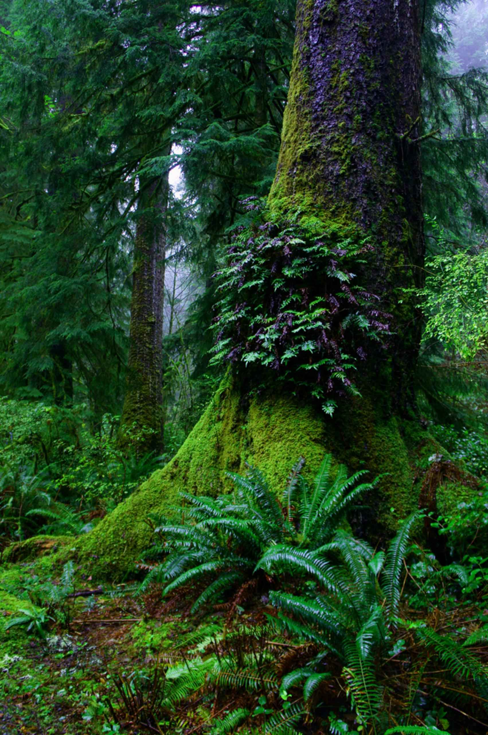 [Resim: Ferns_grow_on_an_old_growth_tree_jungle_scenic.jpg]