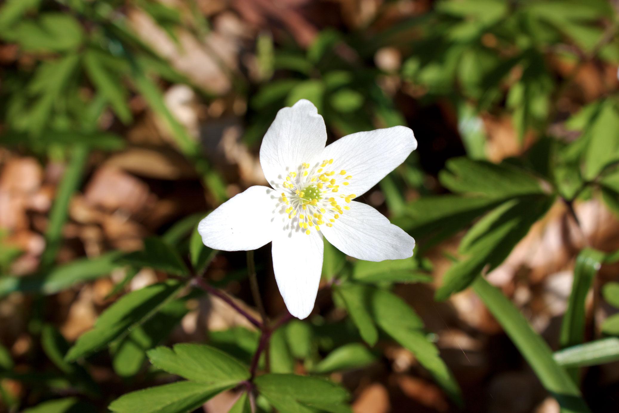 File Fleur D Avril 2015 Foret D Halatte Jpg Wikimedia Commons