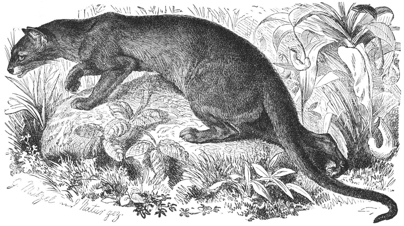 Description fossa drawing