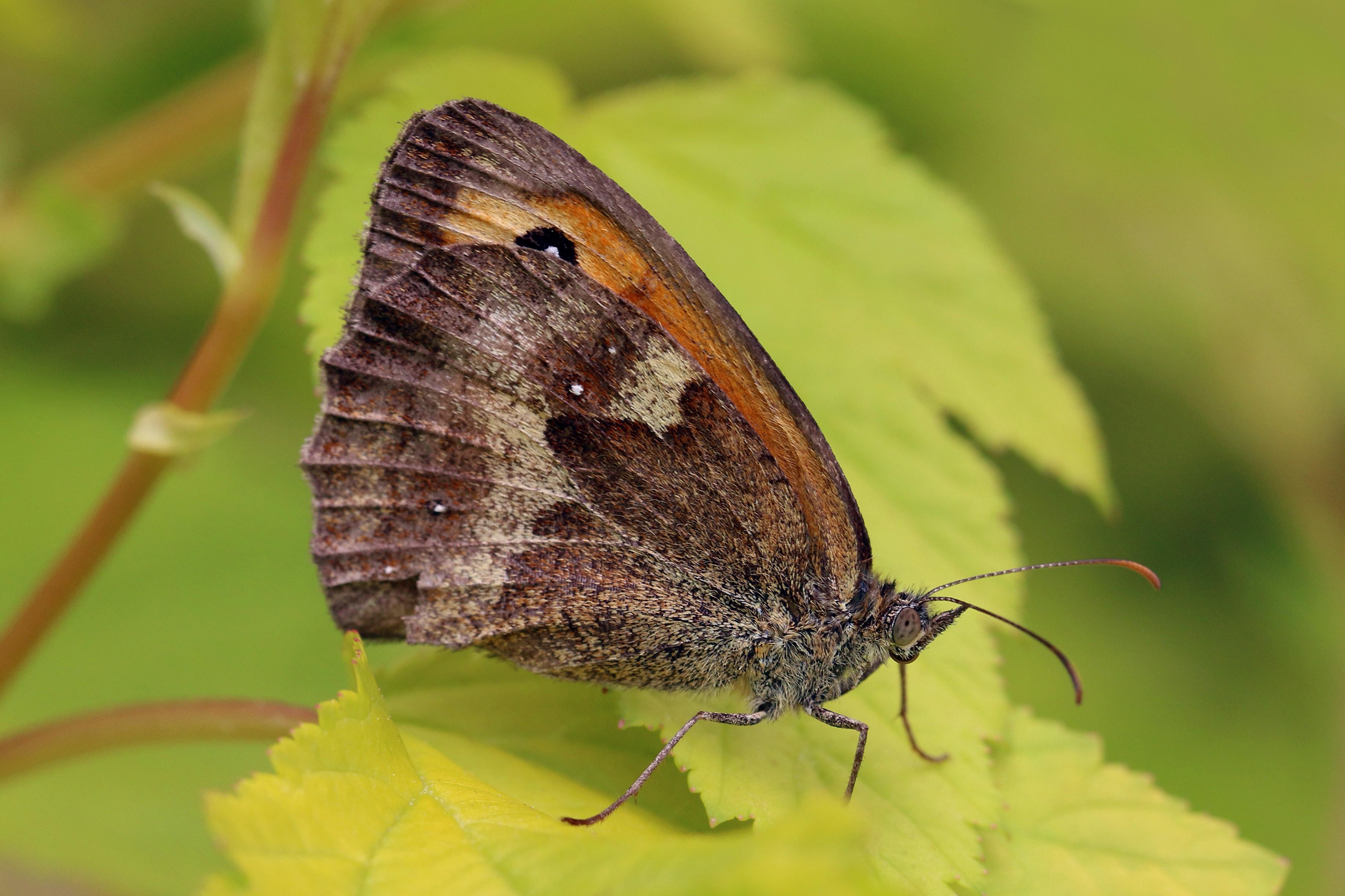 File:Gatekeeper butterfly (Pyronia tithonus) male ...