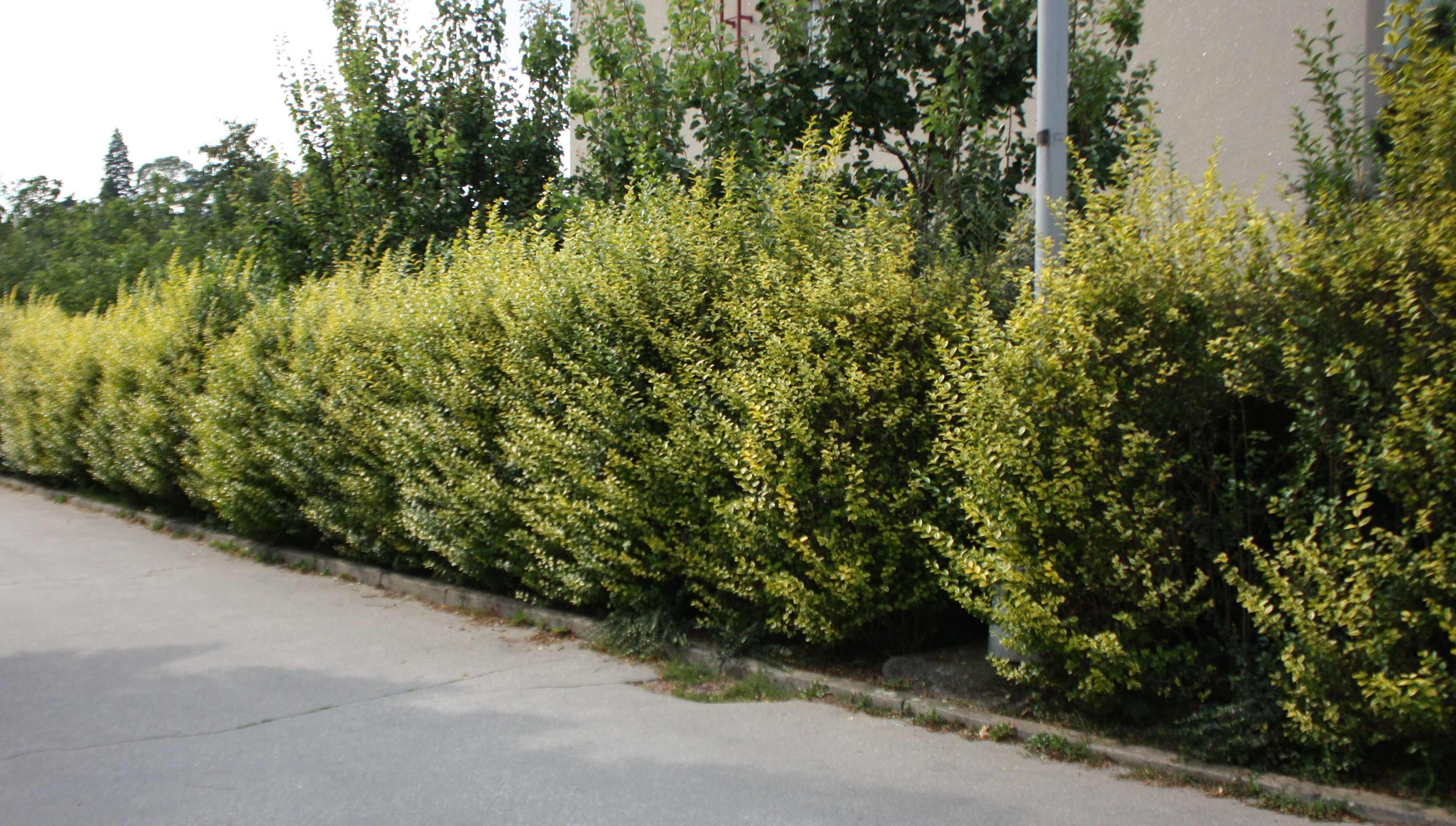 Description hedge ligustrum ovalifolium aureum jpg