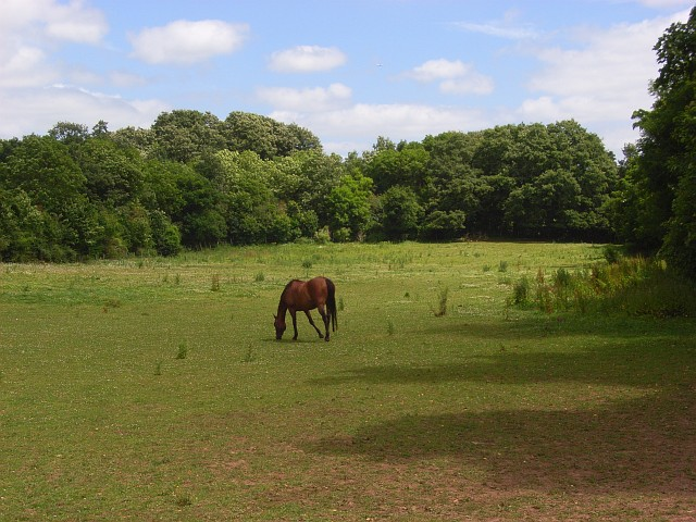 Horse, Woolley Green - geograph.org.uk - 872683