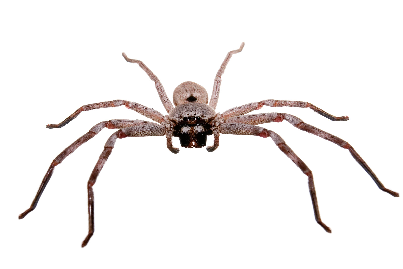 the description of the spider Fun facts for kids including photos and printable activity worksheets about  spiders.