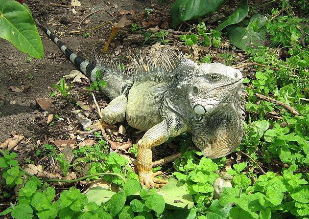 reptiles del amazonas: iguanas