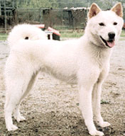 Korean Jindo Dog, a Spitz