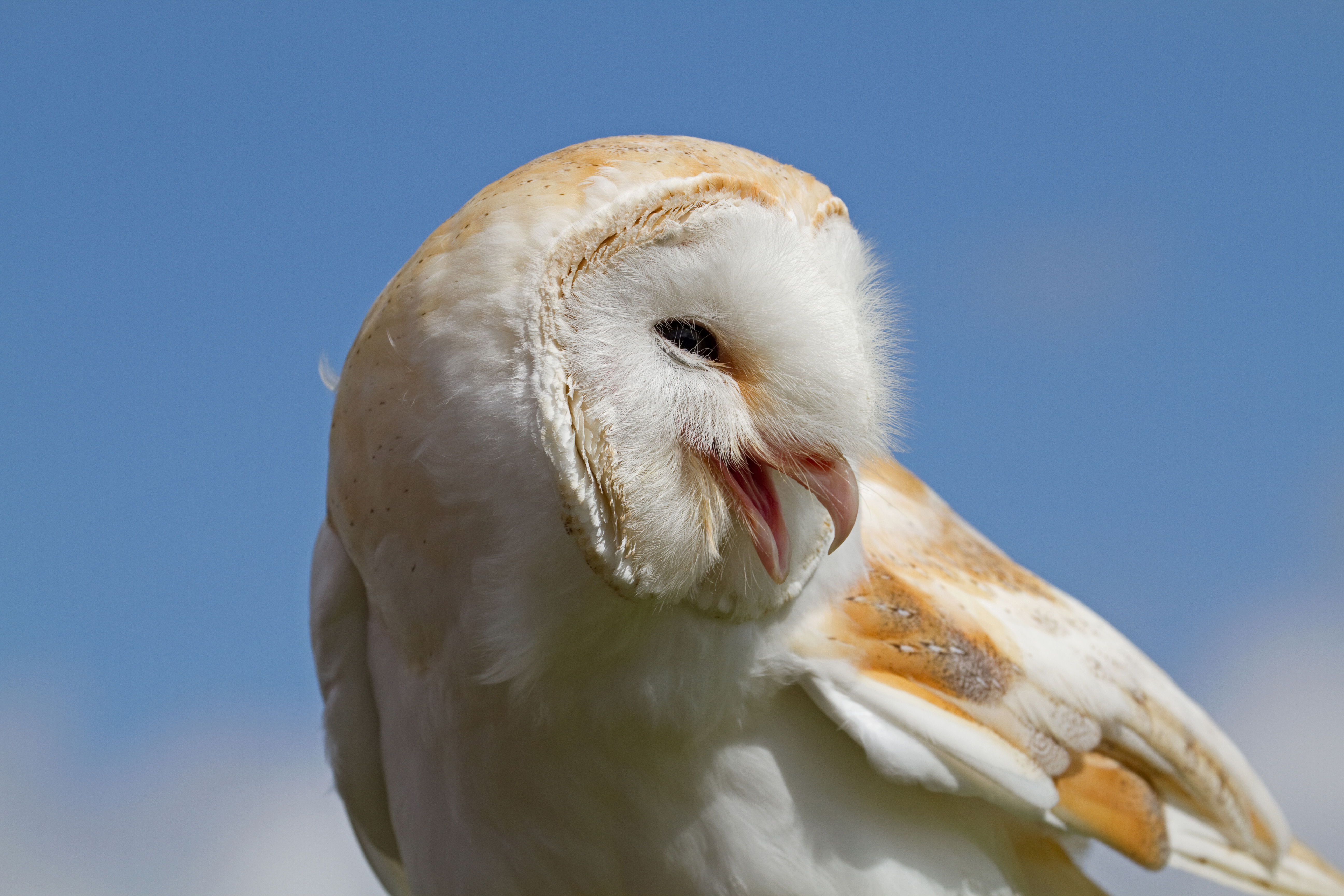 barn owls - photo #35