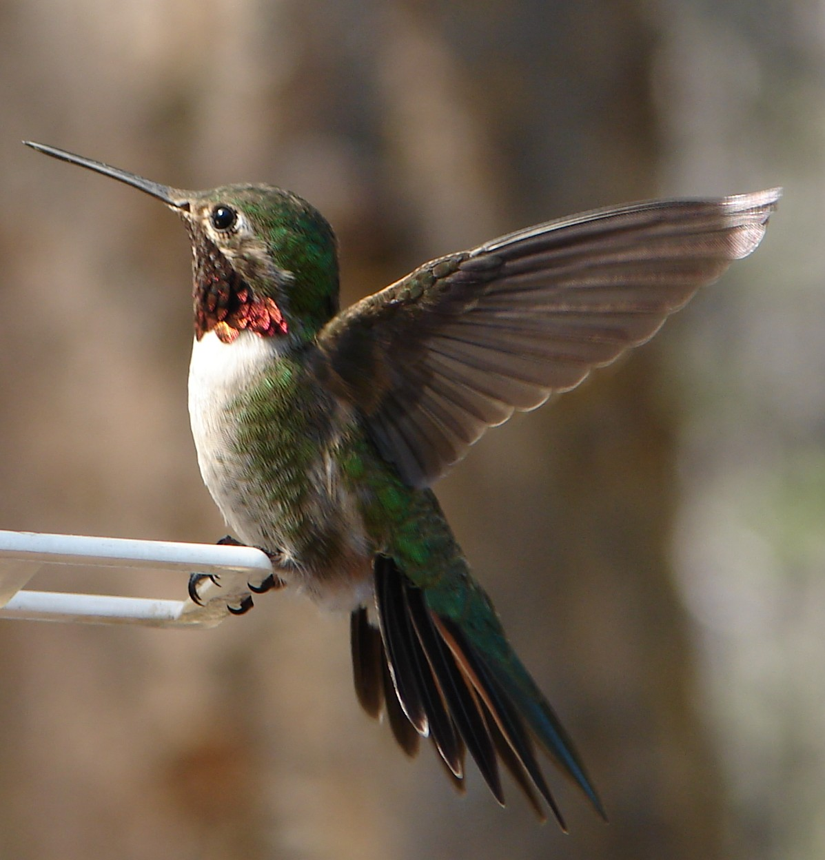Ruby Throated Hummingbird Fact Sheet For Kids